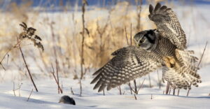 Owl attacking prey